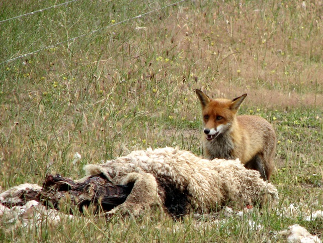 Fox attracted to dead carcass