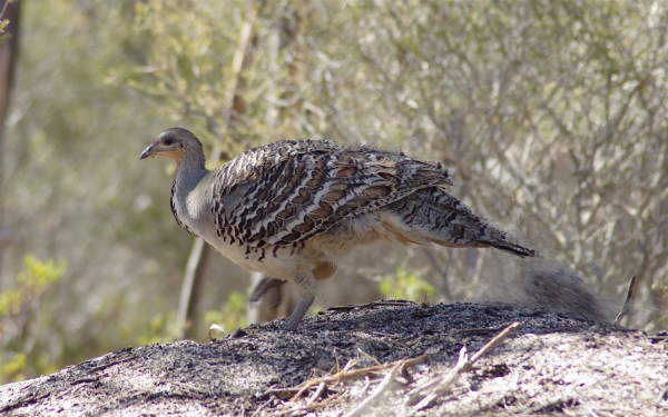 Photo of Mallee Fowl